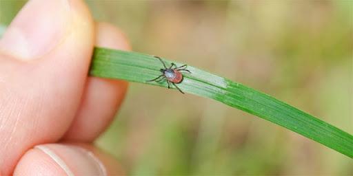 Маленька і небезпечна комашка – у квітні-травні активізуються кліщі