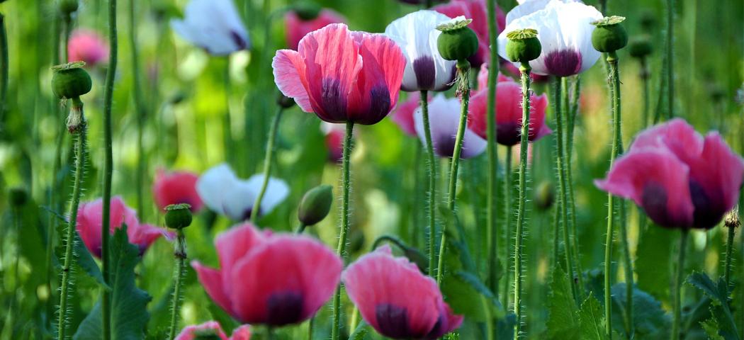 Навіть за квітку маку оштрафують зі смаком – скільки рослин маку можна посадити на власному городі, щоб не оштрафували