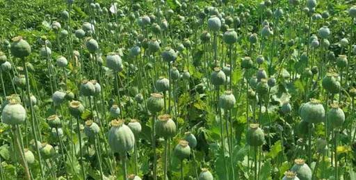 800 рослин снодійного маку виявили поліцейські в одному з сіл Сокальського району