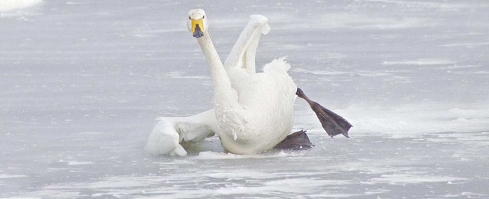 На річці Західний Буг у Сокалі примерзли лебеді. Волонтери просять про допомогу, щоб врятувати птахів
