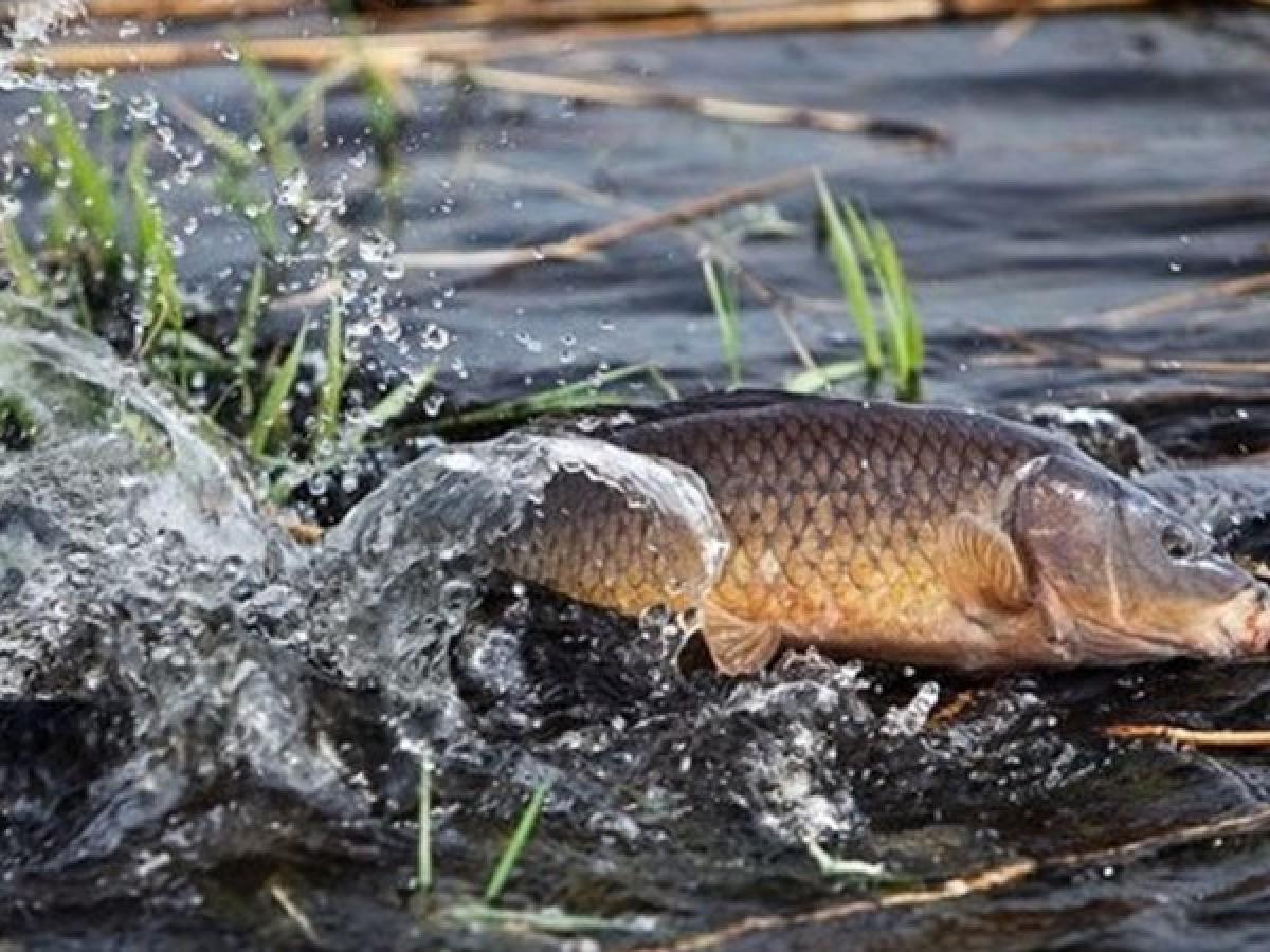 1 квітня – початок нересту на Львівщині. Які і де діятимуть заборони та обмеження щодо риболовлі в Червоноградському районі?