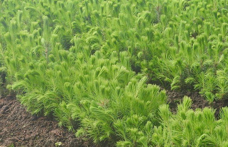 Майже 2 гектари лісу 10 квітня посадили працівники Сокальської, Белзької міської, Червоноградської районної ради та РДА з лісівниками